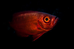 The Red & the Black (Luko GR) Tags: red fish black underwater scuba poisson indien réunion océan sousmarin réunionocéanindienunderwatersousmarinpoisson