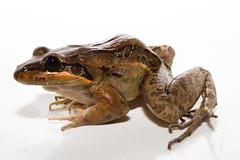 Leptodactylus insularum (brian.gratwicke) Tags: panama animalia anura amphibia 2011 chordata leptodactylidae taxonomy:class=amphibia taxonomy:order=anura taxonomy:kingdom=animalia taxonomy:phylum=chordata leptodactylus taxonomy:genus=leptodactylus taxonomy:family=leptodactylidae taxonomy:binomial=leptodactylusbolivianus taxonomy:species=bolivianus leptodactylusbolivianus