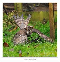 Female Sparrowhawk with Starling (Paul_Wheeler) Tags: uk bird nature garden eating hawk wildlife starling raptor british mantle avian sparrowhawk accipiter nisus mantling