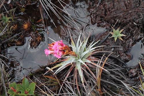 Connelia quelchii (Bromeliaceae)
