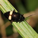 leaf beetle (Chrysomelidae) from a Papuan mountain rainforest