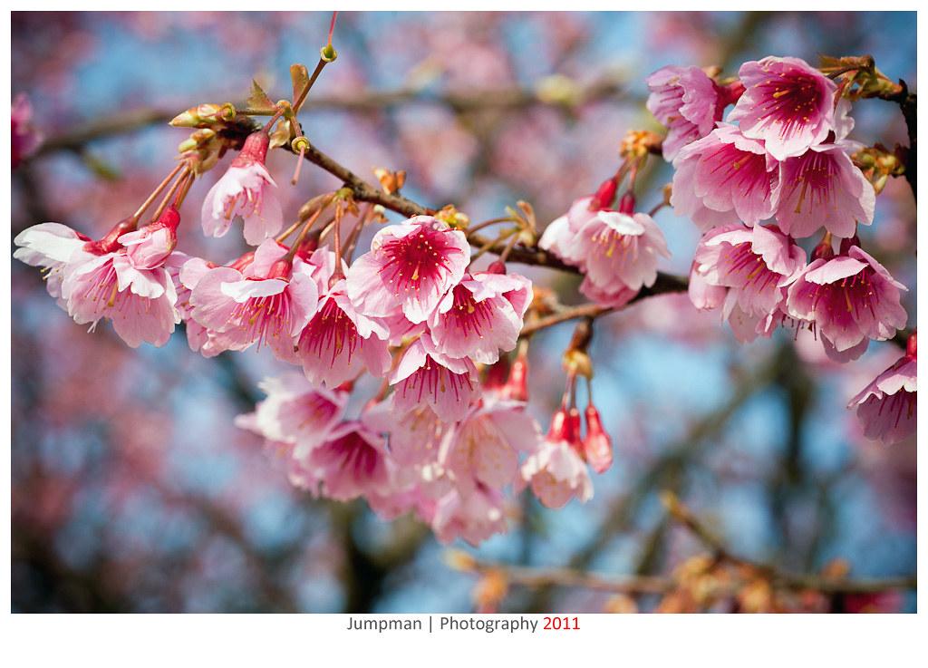 春暖花開 | 平等里賞櫻