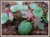 3-week old seedlings of Ricinus communis (jayjayc) Tags: green maroon foliage malaysia kualalumpur seedlings castoroilplant ricinuscommunis reddishpurple castorbeanplant palmateleaves jjsgarden jayjayc