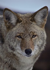 Face to face (r.moreira32) Tags: california coyote winter wild nationalpark wildlife olympus yosemite ep1 droh 50200 dailyrayofhope2011