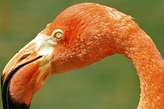 Pretty in Pink (Tony Margiocchi (Snapperz)) Tags: pink portrait closeup nikon close vibrant flamingo bedfordshire caribbeanflamingo whipsnade rosy rosyflamingo tonymargiocchi nikond3 zslwhipsnade