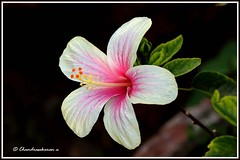 1037 hibiscus.. (chandrasekaran a 34 lakhs views Thanks to all) Tags: flowers india nature hibiscus chennai canon60d