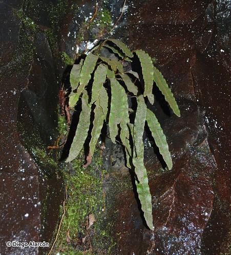Hábito del helecho escamoso <i>Elaphoglossum fonkii</i> creciendo bajo bosque, sobre rocas húmedas en la Reserva Huilo-Huilo, Región de Los Ríos.