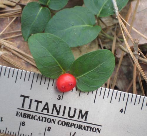 Partridgeberry2