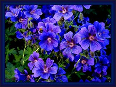 Wild geraniums (Jan 130) Tags: flowers blue summer sun garden wildgeranium cultivated digitalcameraclub wonderfulworldofflowers 100commentgroup hairygitselite