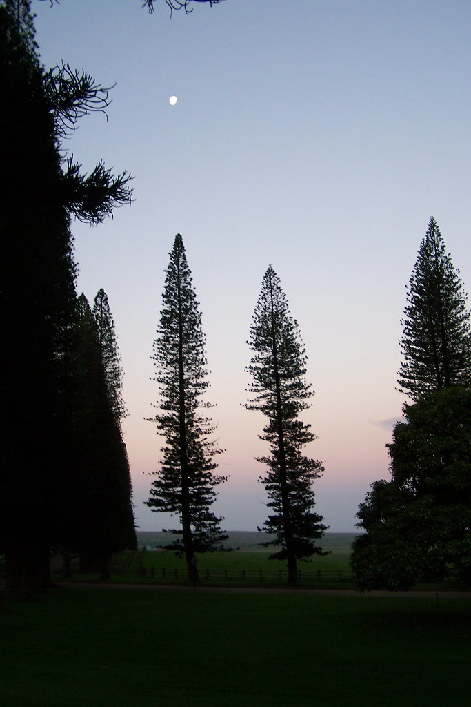 Cook Pines at Sunrise