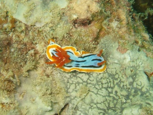 Nudibranch at Mabul