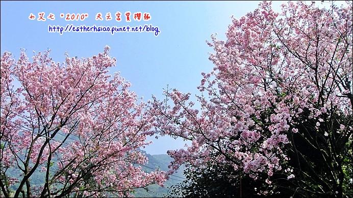 54 步道也都是櫻花