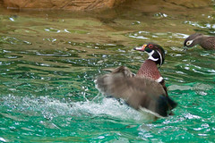Mandarin Duck (Sean, Joseph) Tags: canon zoo singapore whitetiger gdn zoological canon50d