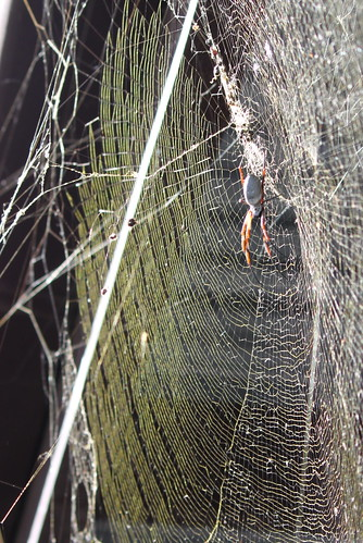 Golden silk web