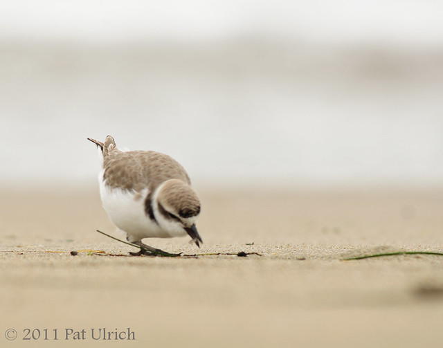 Snowy plover with prey, Point Reyes - Pat Ulrich Wildlife Photography