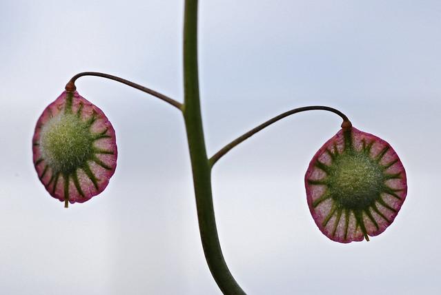 thysanocarpus_radians