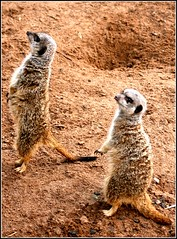 Meerkats model shoot ({deepapraveen very busy with work..back soon) Tags: world uk travel light india news love nature fun photography hope photo meerkat friend poetry photographer friendship faith dream picture free kerala