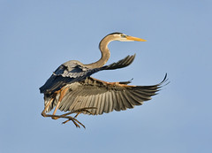 Great Blue Heron (J Gilbert) Tags: florida greatblueheron delraybeach ardeaherodias wakodahatchee grandhron avianexcellence