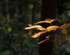 Mottled Light (shashin62) Tags: trees tree leaves leaf jungle kualalumpur kl mygearandme