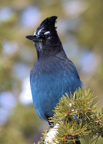 8x10 Steller's Jay Bryce Canyon IMG_0774