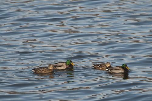 11-Ducks-0624