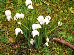 little gems beautiful snowdrops (marie mac1) Tags: canoes