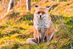 [フリー画像] 動物, 哺乳類, イヌ科, 狐・キツネ, 201103031700