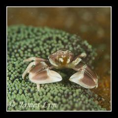 Porcelain Crab 04 (hloc) Tags: scubadiving similanisland