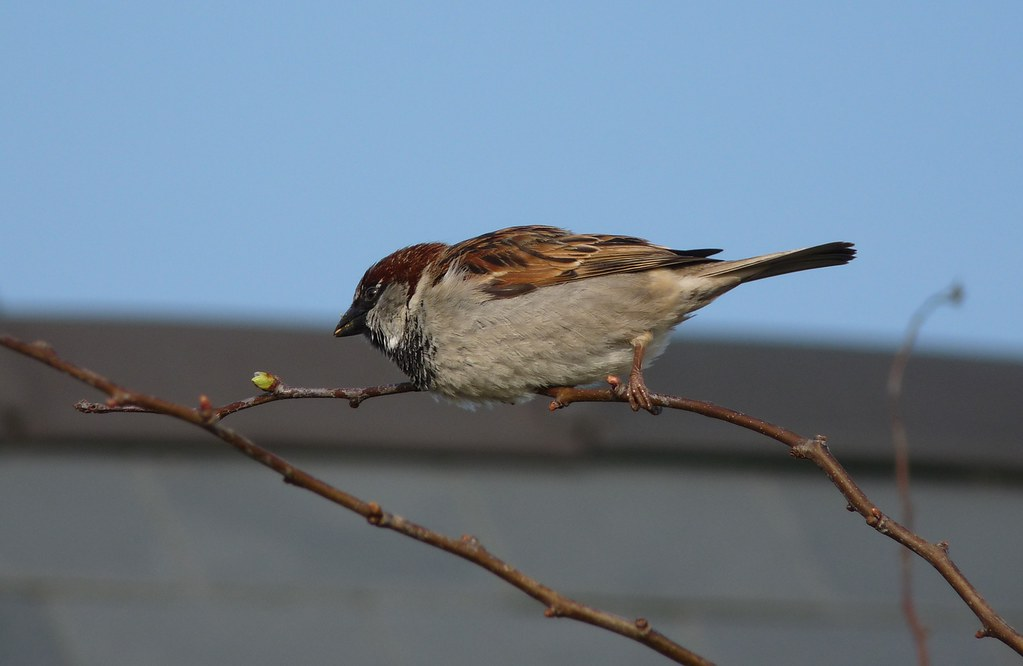 23941 - House Sparrow, Rhossili, Gower