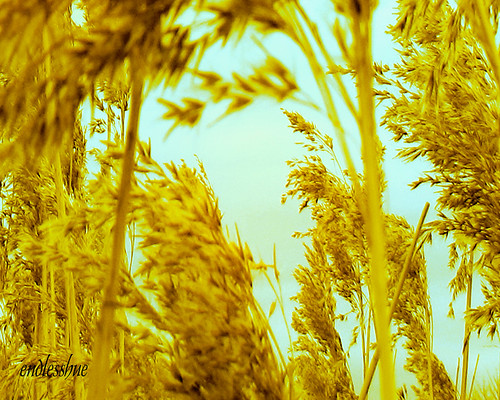 Fields of gold by endlesshue