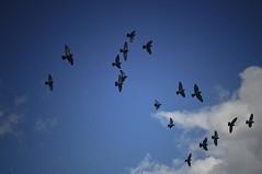 [02|04|08] Fliegend hoch ... die Vgel (c-or^^) Tags: blue sky white up birds flying pigeons himmel blau vgel fliegen ta