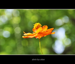 cosmos flower #25 (e.nhan) Tags: light flower art nature yellow closeup colours dof bokeh cosmos backlighting enhan