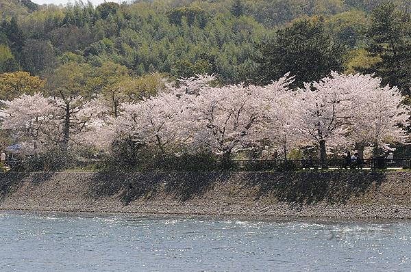 大風起,櫻花落