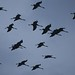 Common Cranes in flight (Malcolm Stott)