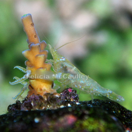 Acro Shrimp