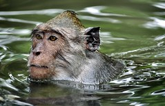 Monkey swims (Clearvisions) Tags: mygearandme mygearandmepremium mygearandmebronze mygearandmesilver