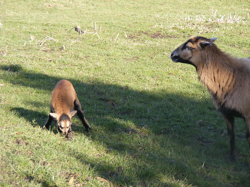 cameroon sheep ewe and lamb 2