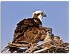Suspicious Minds (Geoff Coe) Tags: nature birds wildlife chick behavior osprey squawk swflorida pandionhaliateus
