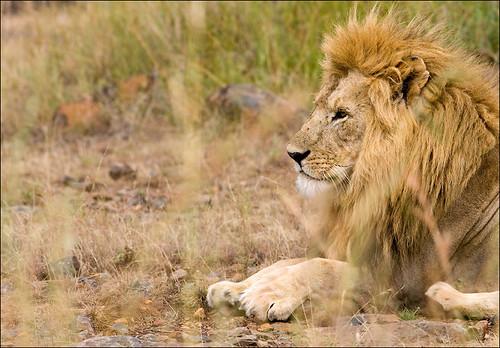 Lion by GeoffSJG