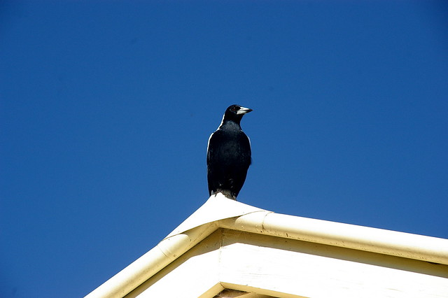 magpie on blue