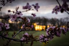042314 Flowering Plum @ Sunrise (thekirb) Tags: pink tree sunrise blossoms plum pa salford ridgeroad floweringplum danwkirby dankirbyphotography wwwdankirbyphotographycom