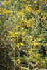 Stacheliger Dornginster (Calicotome spinosa) (blumenbiene) Tags: plant pflanze flowers blüten blüte flower boga botanical garden botanischer garten dresden saxony sachsen stacheliger dornginster calicotome spinosa ginster thorny broom spiny