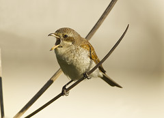 Red-backed Shrike (J J McHale) Tags: pellet shrike redbackedshrike scotland aberdeenshire nature wildlife migrant laniuscollurio