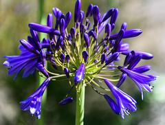 Purple Blue (Jocey K) Tags: newzealand southisland akaora agapanthus flowers