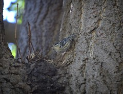 Black & White warbler with grub (Goggla) Tags: nyc new york east village tompkins square park urban wildlife bird black white warbler