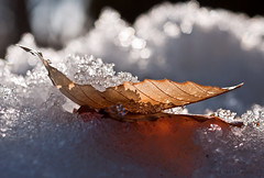 filtered light (marianna armata) Tags: winter light snow macro texture leaf crystals bokeh dry curled sparkling bokehwednesday