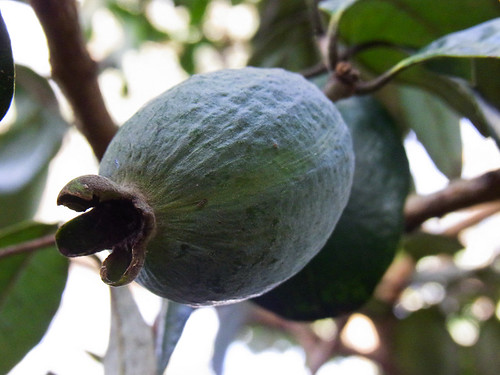 Feijoa - Acca sellowiana