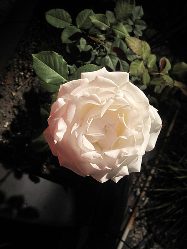 Pure white rose. by gaydenesse