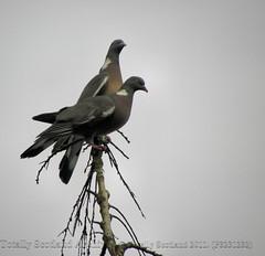 Pigeon 1/2