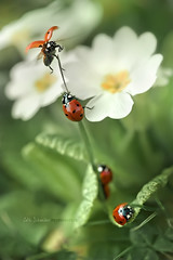 coccinellidae | Paradise circus (cliccath) Tags: flower macro grass fleurs spring circus ladybird ladybug cirque printemps herbe coccinelle macrophotography coleoptera coccinellidae coccinellaseptempunctata macrophotographie canoneos5dmarkii canonef100mmf28macrousmlens cliccath ~explore~ cathschneider coléoptère